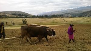 prepara-la-tierra-para-la-siembra-del-Tarwi-variedad-Anden