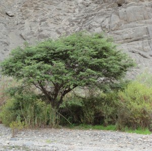 Huarango