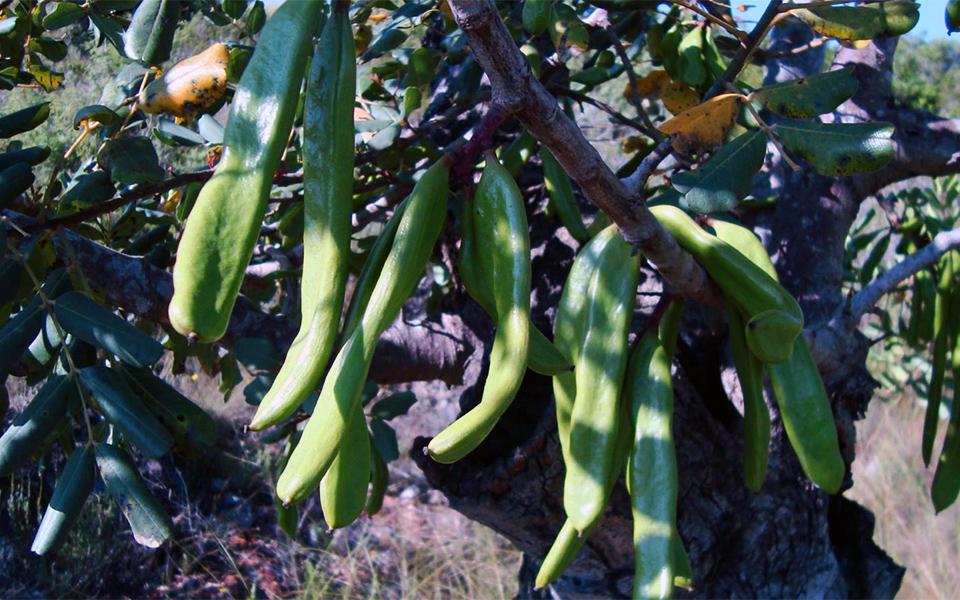 fruto algarrobo
